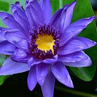 Blue Water Lily-flower-name-in-urdu-hindi-english