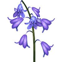 Bluebell-meaning-in-urdu-hindi-english