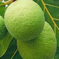 Breadfruit-meaning-in-urdu-hindi