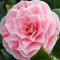 Camellia-mearning-english-flower-in-urdu-hindi