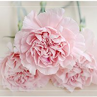 Carnation meaning in urdu hindi