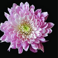Chrysanthemum-meaning-in-urdu-hindi-english-with-pictures
