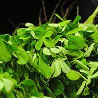 Fenugreek Leaves-meaning-in-urdu-methi in urdu-میتھی