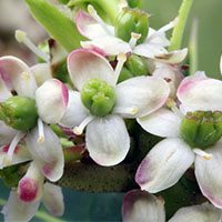 holy-meaning-in-urdu-hindi-flower
