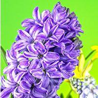 Hyacinth-meaning-in-urdu-hindi-english-flower