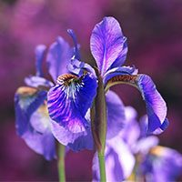 Iris-meaning-in-urdu-hindi