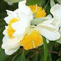 Mesua-Ferrea-flower-in-urdu-hindi-meaning