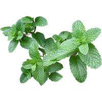 mint-meaning-in-urdu-hindi-podeena-پودینہ