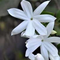 Night-blooming-jasmine-meaning-in-urdu-hindi-rat-ki-rani