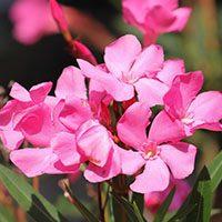 Oleander meaning in urdu hindi