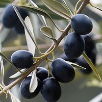 Olives-meaning-in-urdu-hindi