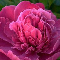 Peony-flower-in-urdu-hindi-meaning