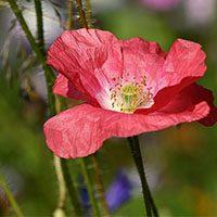Poppy-flower-meaning-in-urdu-hindi