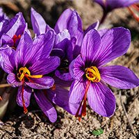 Saffron-flower-with-picture-in-urdu-hindi-meaning