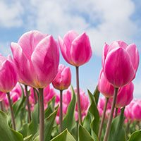 Tulip-flower-in-urdu-meaning-