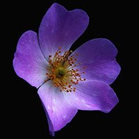 Violet-flower-meaning-in-urdu-hindi-with-pictures