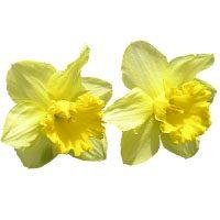 daffodil-meaning-in-urdu-hindi