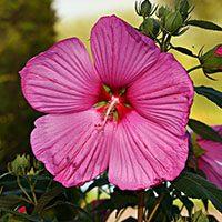hibiscus meaning in urdu hindi