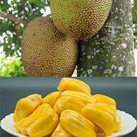 jack fruit-meaning-in-Urdu-Hindi-English