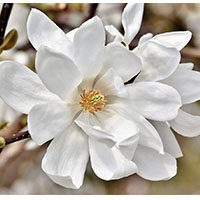 magnolia-flower-meaning-in-urdu-hindi-with-images