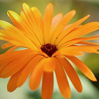 marigold meaning in urdu hindi