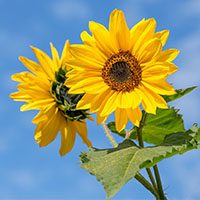 sunflower meaning in urdu hindi